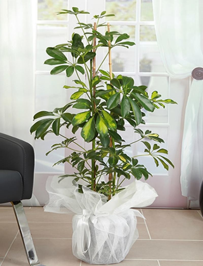 Şeflera ( Schefflera) Çiçeği