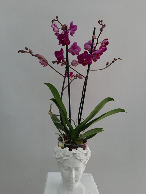 Multi Orkide Helen Saksıda