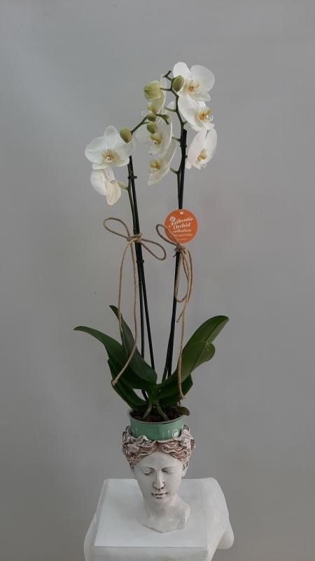 Helen Vazoda Orkide